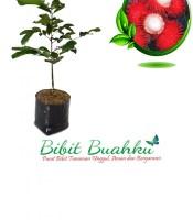 Bibit Rambutan Binjai