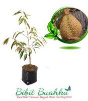 bibit tanaman buah durian bawor