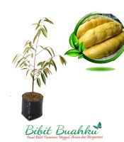 bibit durian musang king