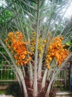 Data Pohon Kurma Yang Sudah Berbuah di Indonesia
