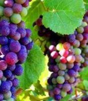 gambar buah anggur banyak warna
