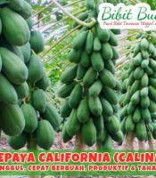 Jual Bibit Pepaya California
