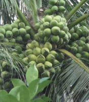 jual kelapa genjah nias