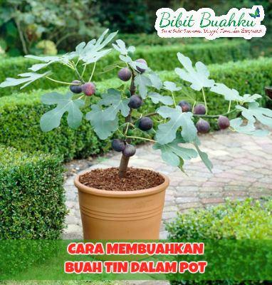 Agar Pohon Tin Cepat Berbuah Banyak Dan Besar Di Pot