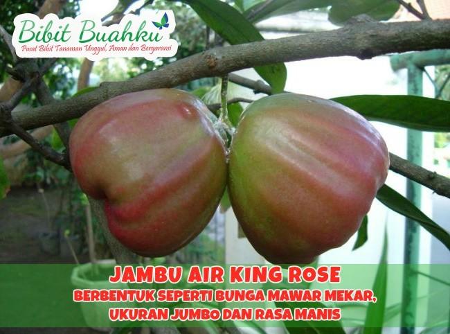 Jambu Air King Rose