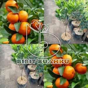 gambar buah jeruk santang