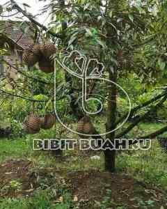 gambar bibit durian bawor