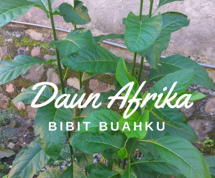 bibit daun afrika
