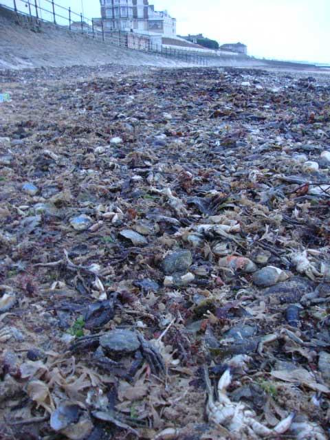 dizaines de milliers de crabes morts retrouvés épars sur des plages Anglaises
