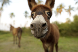 Donkey funny is a cute baby donkey sticking his nose in the camera to see what the heck is going on. ** Note: Shallow depth of field