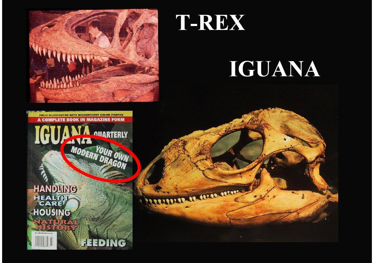 Image result for iguana vs trex skull