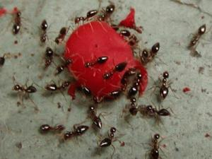 comment se debarrasser des fourmis