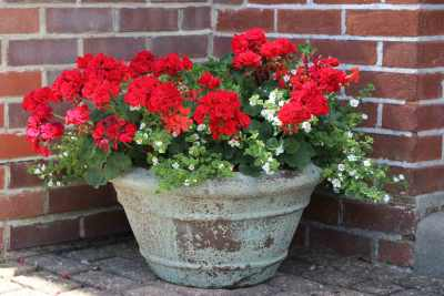 Geraniums by front door