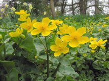 caltha_palustris_marsh marigold