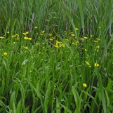 ranunculus_lingua_greater spearwort