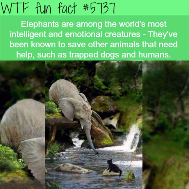 Elephants are intelligent to save trapped animals.