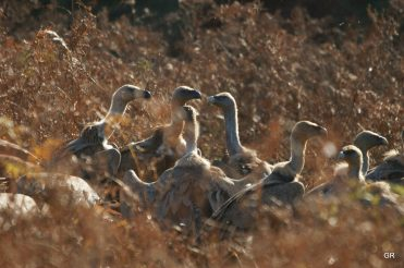 Curée des vautours