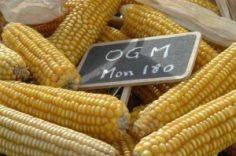 mais OGM