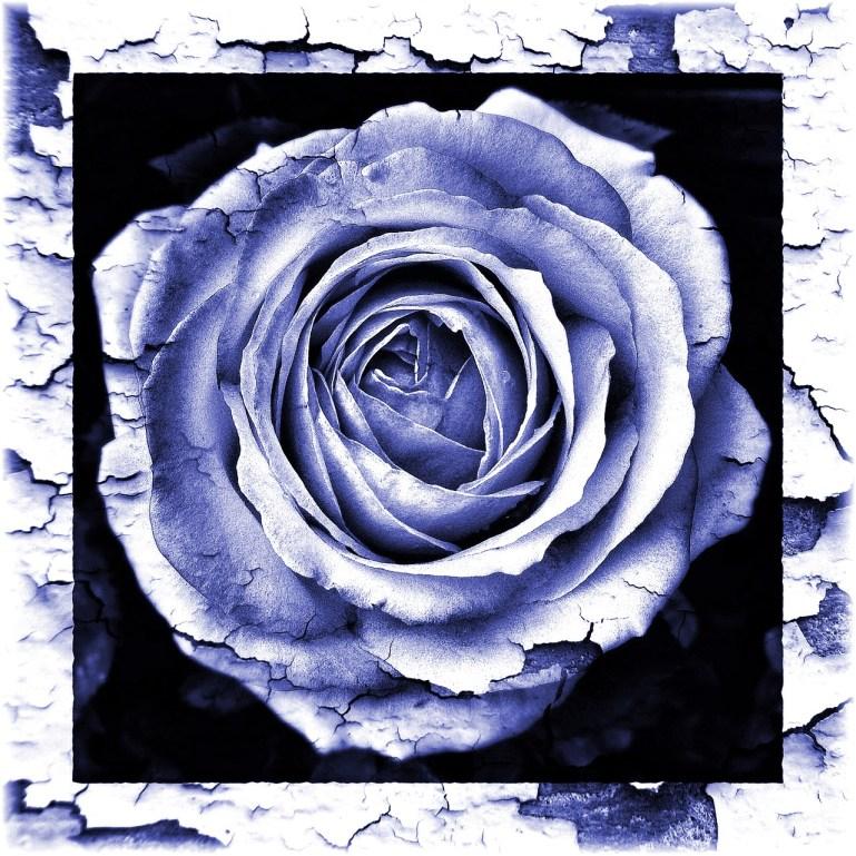 Rose blau
