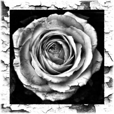 Rose schwarz