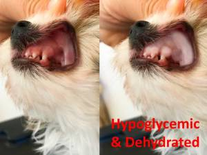 Hypoglycemic Biewer Terrier Puppy