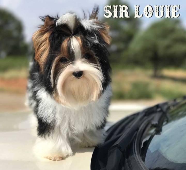 Sir Louie Biewer Terrier Puppy