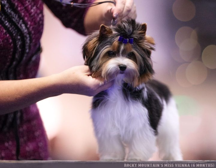 Rocky Mountain Biewer Terriers Orlando 2017 AKC National Championship