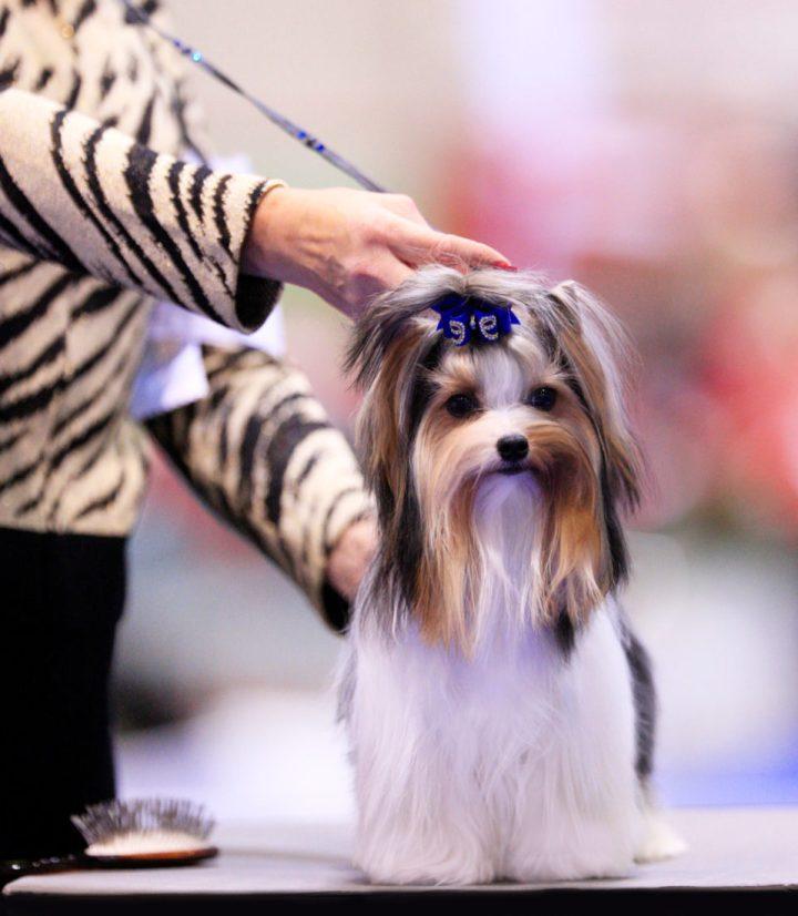 BIS Biewer Terrier Donny in Orlando 2017