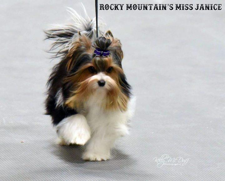 Rocky Mountain Biewer Terriers Dog Show