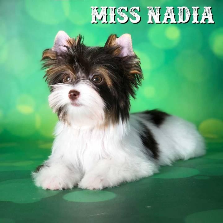 Chocolate Biewer Terrier Girl Miss Nadia