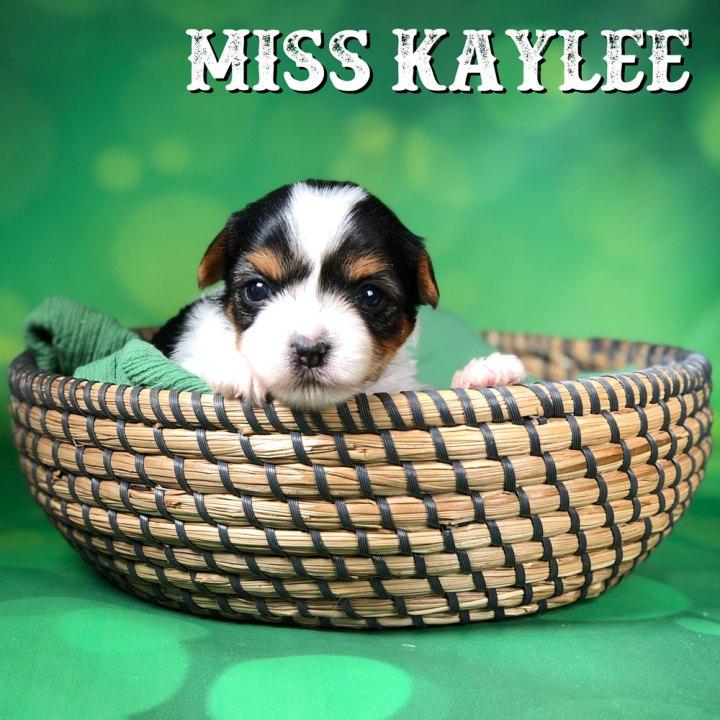Rocky Mountain Biewer Puppy Kaylee
