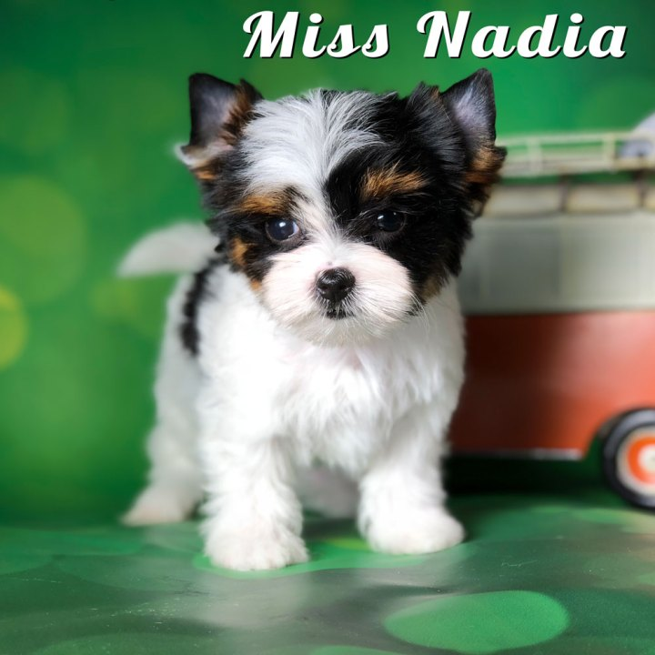 Rocky Mountain Biewer Puppy Nadia