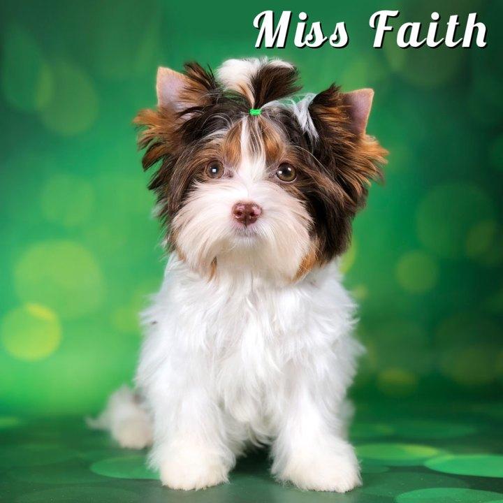 Chocolate Biewer Miss Faith