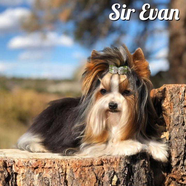 Biewer Boy Sir Evan
