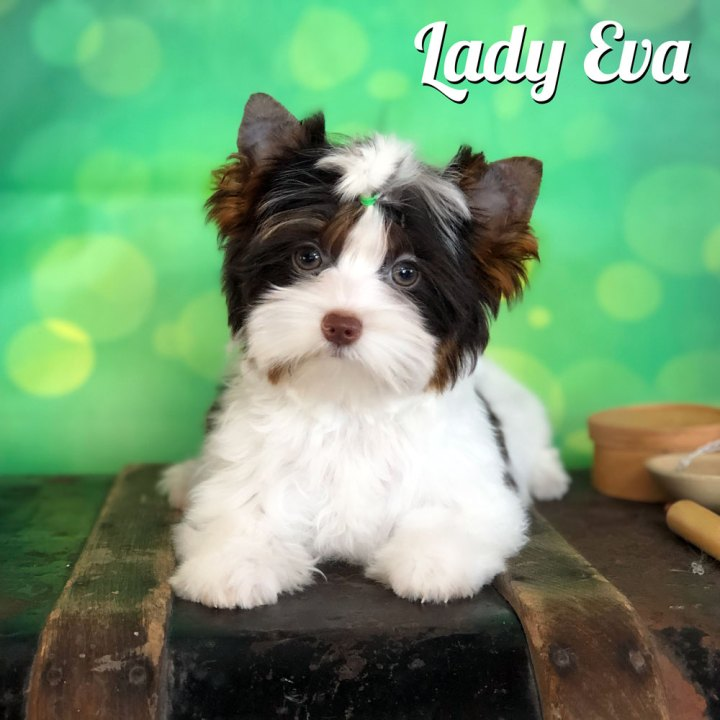 Chocolate Biewer Lady Eva