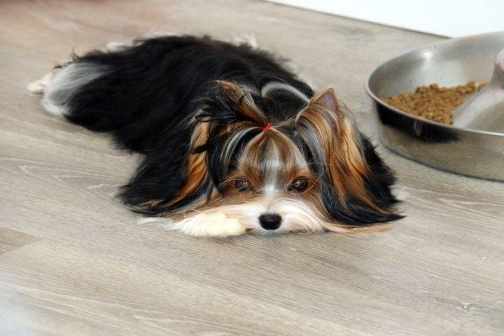 Biewer Terrier Females Rocky Mountain's Lady Jolene