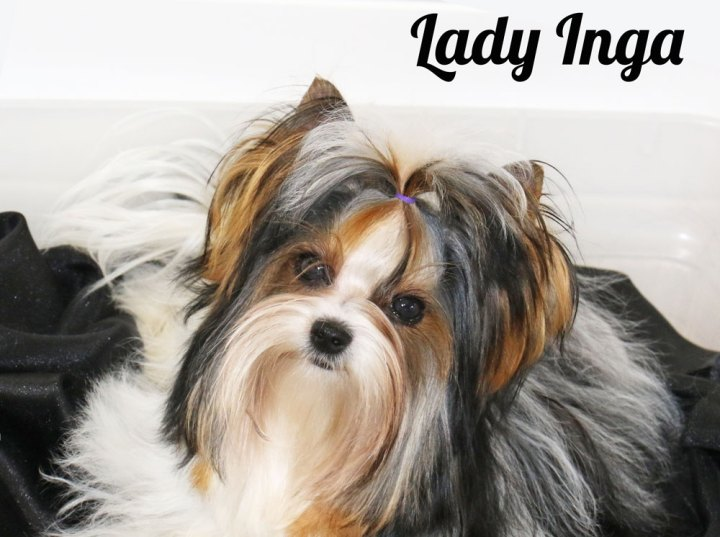 Biewer Terrier Females Rocky Mountain's Lady Inga