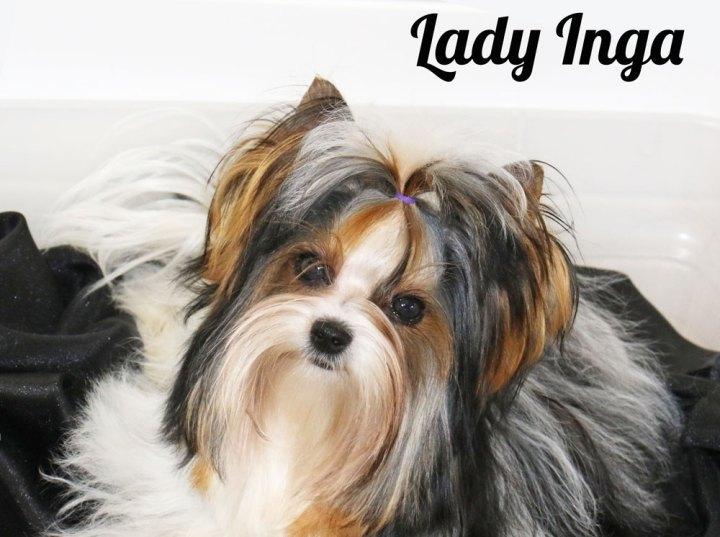 Biewer Terrier Females Rocky Mountain's Lady Inga