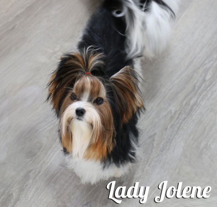 Biewer Terrier Females Rocky Mountain's Lady Jolene