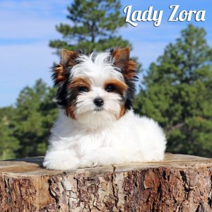 Biewer Puppy Zora