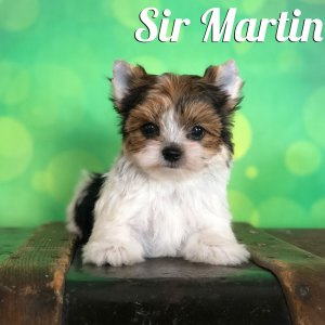 Biewer Terrier Puppy Martin