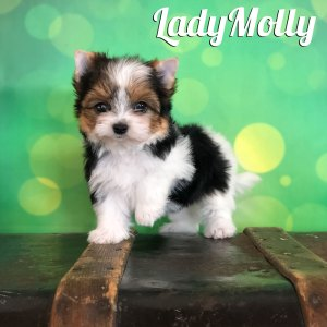 Biewer Terrier Puppy Molly