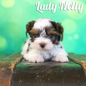 Nelly Biewer Terrier Puppy