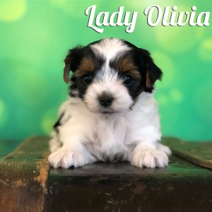 Biewer Puppy Olivia