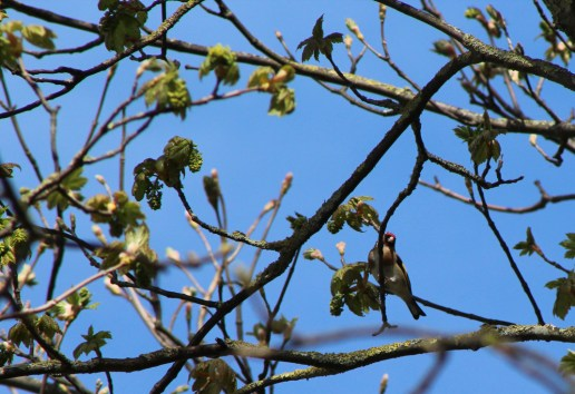 Goldfinch (all images copyright Stephen Baird use contact@bigbeardedbookseller.com for info)