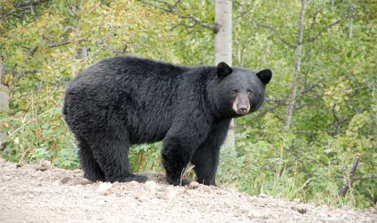 Black Bear Hunting Tips – Baiting Black Bears