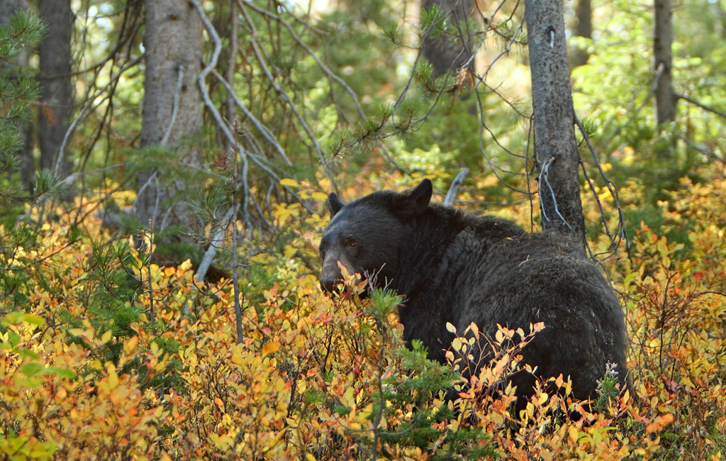 3 Black Bear Hunting Tips to Land that Big Trophy Kill