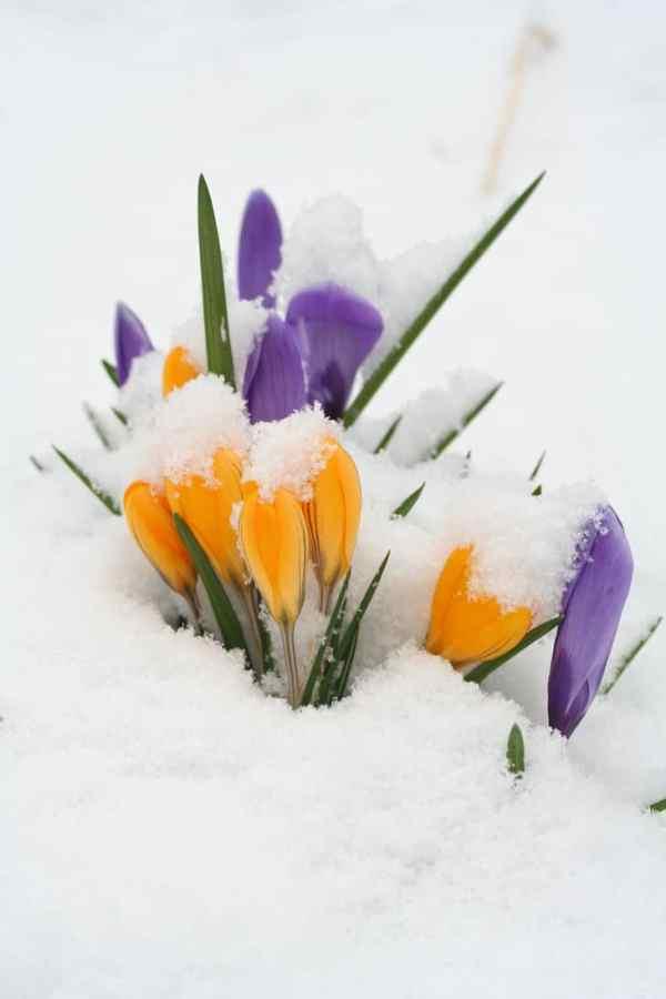 Crocus de huerto orgánico en la nieve.