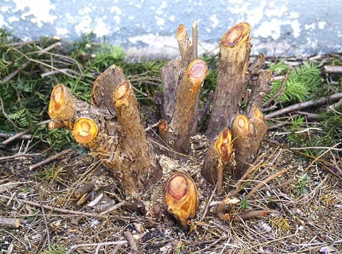 How To Remove A Yew Shrub Big Blog Of Gardening