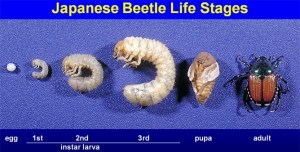 japanese beetle egg grub adult